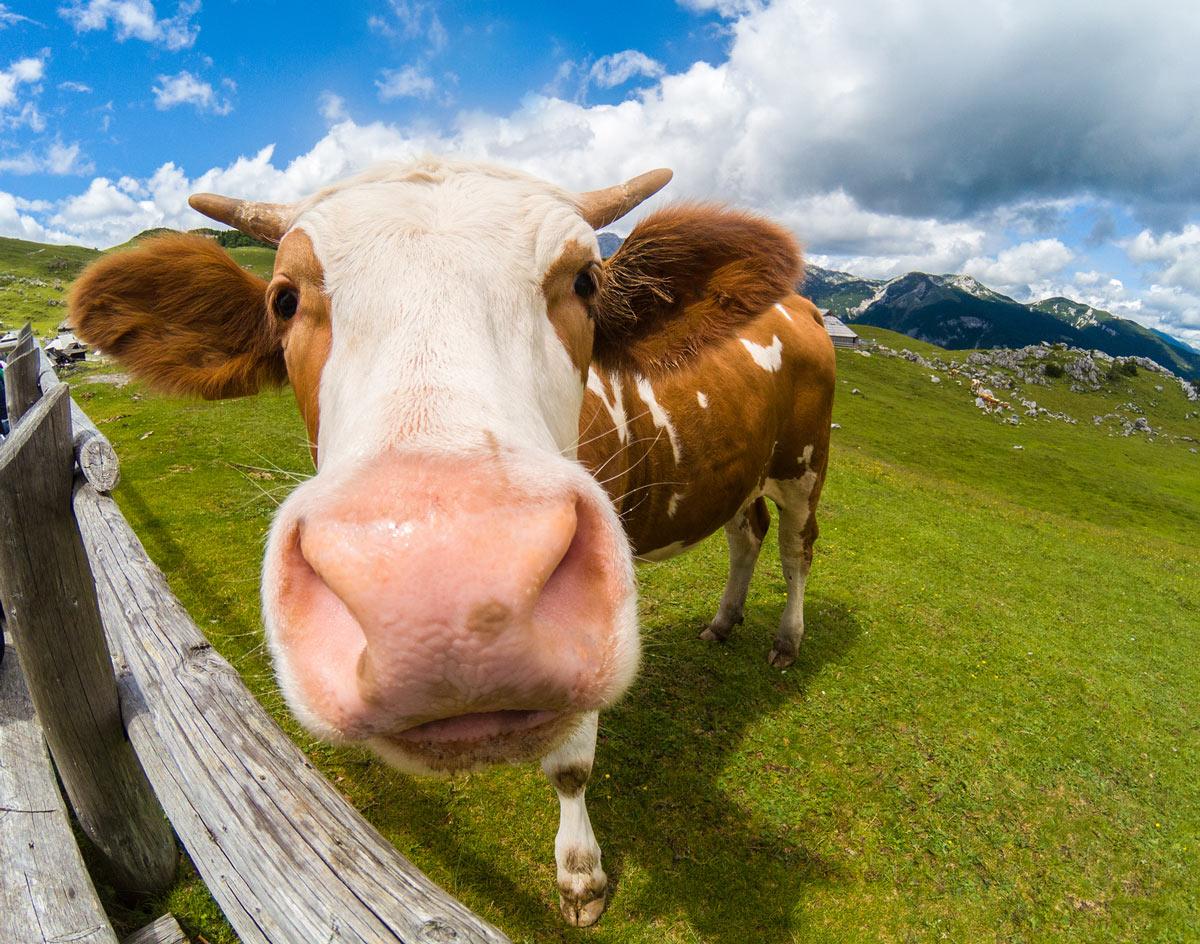 circle-farm-cow